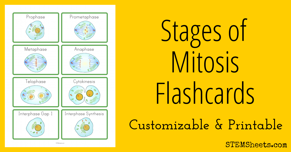 stages of mitosis flashcards